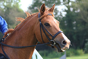 Horse Times Egypt: Equestrian Magazine :Riders Blog :THE INTRODUCTION TO NOSEBANDS!