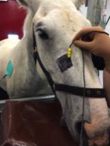 Horse Times Egypt: Equestrian Magazine :News :PERCUTANEOUS ELECTRICAL NERVE STIMULATION FOR HEADSHAKING