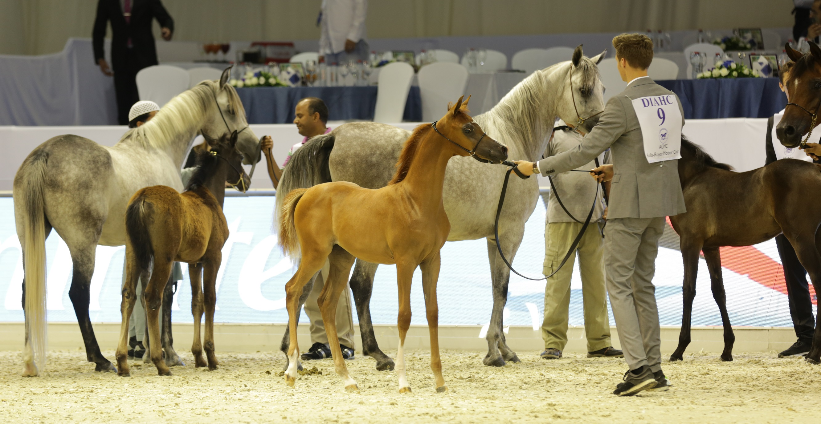 "Horse Times Egypt: Equestrian Magazine :News :MAGNIFICENT FOALS MAKE THEIR DEBUT IN ""BABIES OF THE YEAR"" SEGMENT AT DUBAI INTERNATIONAL ARABIAN HORSE CHAMPIONSHIP"