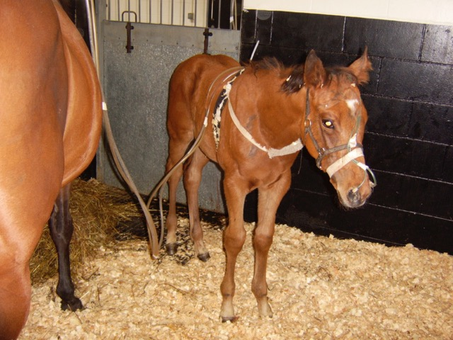 Horse Times Egypt: Equestrian Magazine :News :LUNG DISTRIBUTION OF RIFAMPICIN IN FOALS